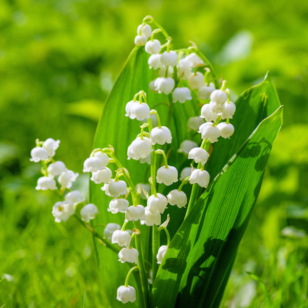 Lily of the valley, lily ofthe valley roots, convallaria, convallaria majallis, lily of the valley plants, summer flowering pernnial, summer flowering plant, scented plant, scented flower, summer flowering flower,