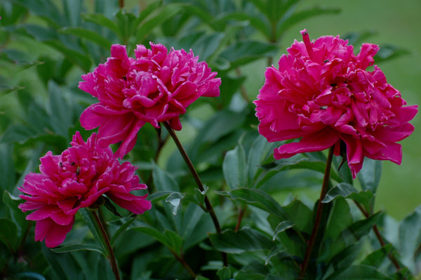 Paeonia Karl Rosenfield, Paeony Karl Rosenfield, Peony Karl Rosenfield, Red Paeony, Red Paeonia, Red Peony, Peony, Paeony, Paeony Rose, Peony Rose, Paeonia