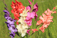 Gladiolus, Mixed Gladiolus, Gladiolus mixed colours, Gladiolus purple, Gladioli purple, Gladiola, Gladiolus, Gladioli, purple Gladiolus, Summer flowering bulbs, summer bulbs, summer flowers, Spring bulbs, Spring flowering bulbs, bulbs for naturalizing