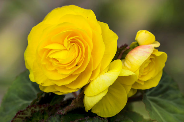 Begonia, Yellow Begonia, Tuberous Begonia, Yellow Tuberous Begonia, Summer Flowering Begonia, Yellow Flower