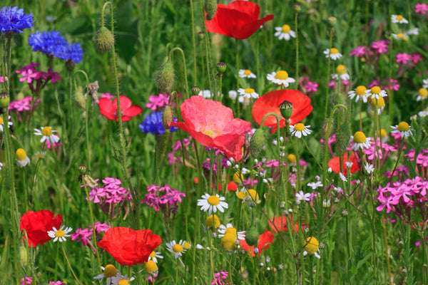 Plants for bees, plants for butterflies, , wildflower meadow, wildflower seed, native irish wildflowers, native irish meadow, native wildflower seed