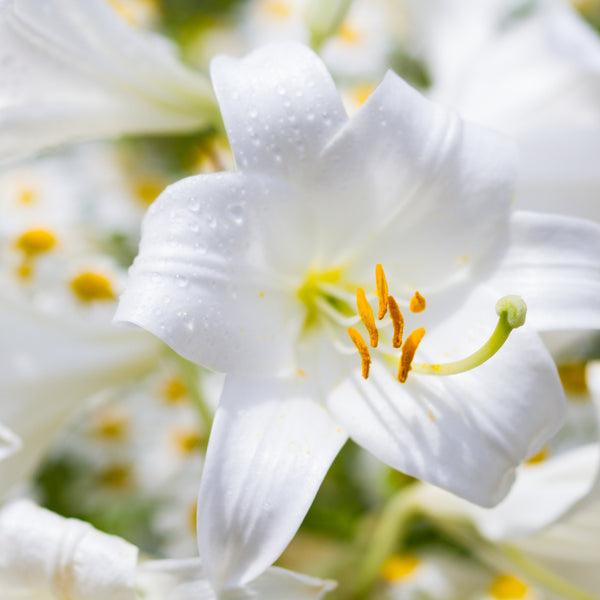 Lilium White Triumphator, White Lily, Lilium, Summer flowering Lily, Scented Lily, white scented lily, scented white lily