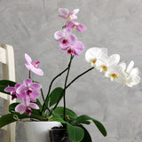 Vitax Orchid Bloom Feed, Orchid feed, Orchid food, orchid fertilser, Orchid plant, orchid flower, house plant food,