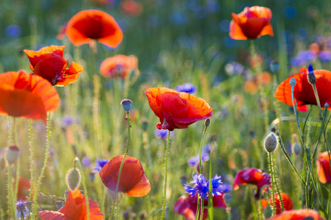 poppies, red poppy, corn poppy, wild poppy, wildflower meadow, wildflowers, plants for bees