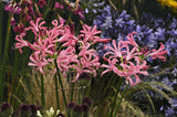 Nerine bowdenii, Nerine, Guernsey Lily, Diamond Lily, Pink flower, Pink Lily, Spring bulbs, Spring flowering bulbs, bulbs for naturalizing