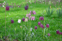 Fritillaria meleagris, Stained glass flower, stained glass plant, snakes head Ftillaria, snakes head fritillary, Fritillary, cottage garden plants, Spring Bulbs, Spring flowering Bulbs,