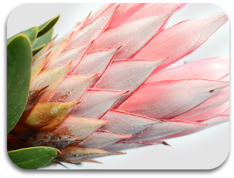 Pink Protea Placemat (one placemat)
