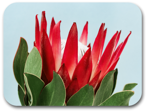King Protea With Blue Background Placemat (one placemat)