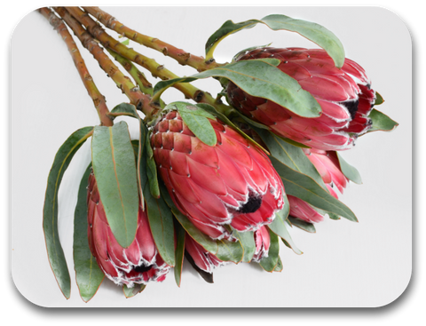 Bunch Of Proteas Placemat (one placemat)