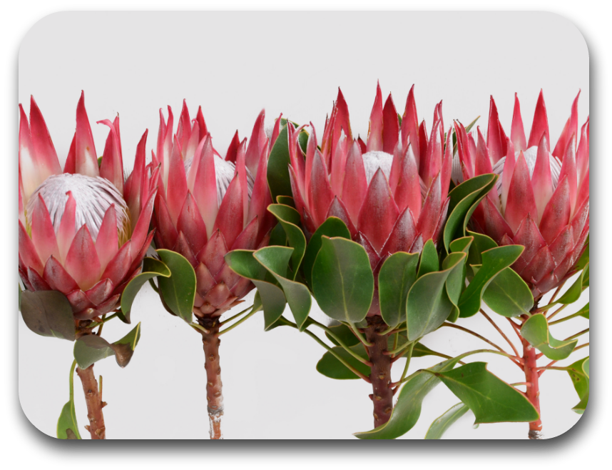 Proteas Placemat (one placemat)