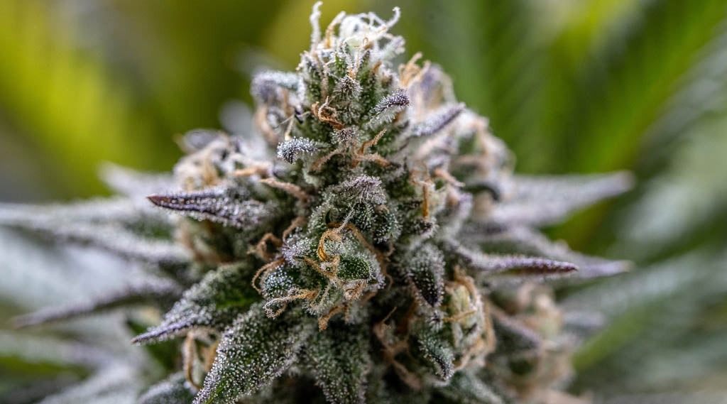 What Are Terpenes in CBD: Benefits and History