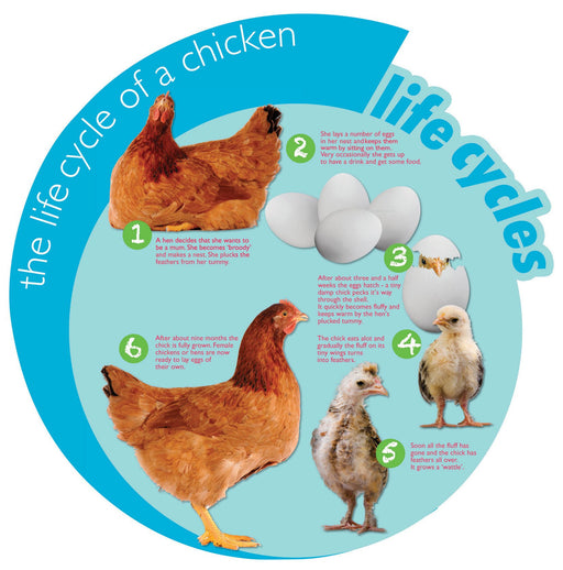 Circular Life Cycle Sign Chicken