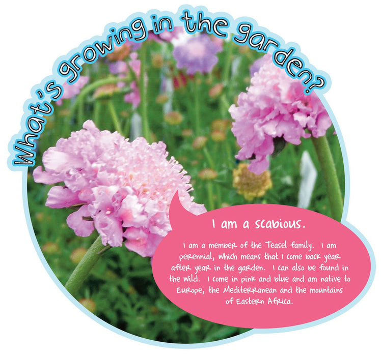 Grace's Garden Plant sign Scabious