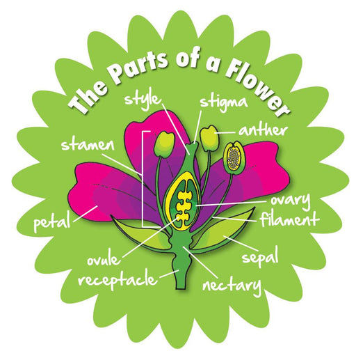 Plants in detail - Parts of a Flower / Large