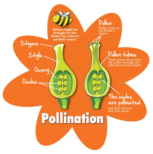 Plants in detail - Pollination / Jumbo