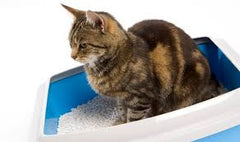 cat in litter tray