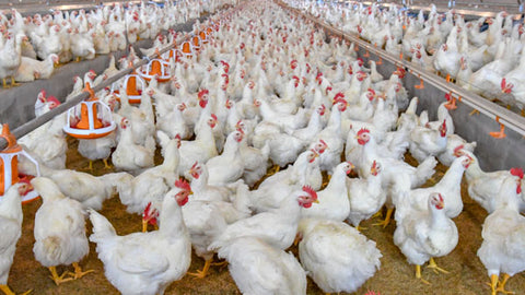 Fly control for poultry farms