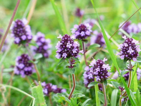 wild thyme is native to mediterranean countries, Provence, Marseille and the essential oil is an important ingredient in aromatherapy an