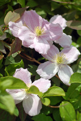 Clematis Flower For Privacy Trellis