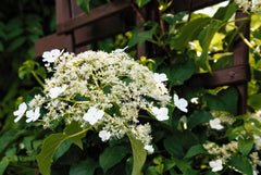 Climbing Hydrangea For Privacy Trellis