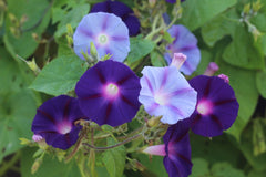 Morning Glory For Privacy Trellis