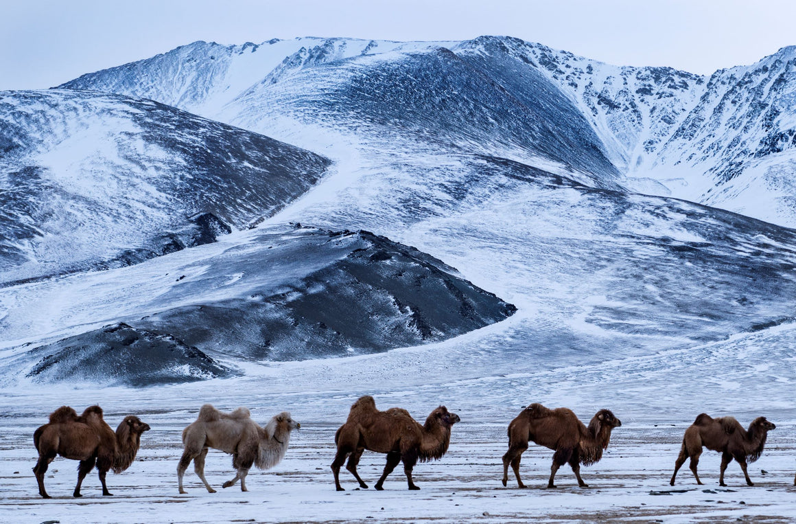 Bactrian camels, the two humps camels of central Asia