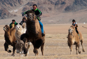 double-humped Bactrian camel races