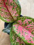 Aglaonema Red Valentine