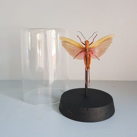 gemmas-curiosity-shop - Glass Dome - Valanga nigricornis javanica - Gemma's Curiosity Shop - Dome