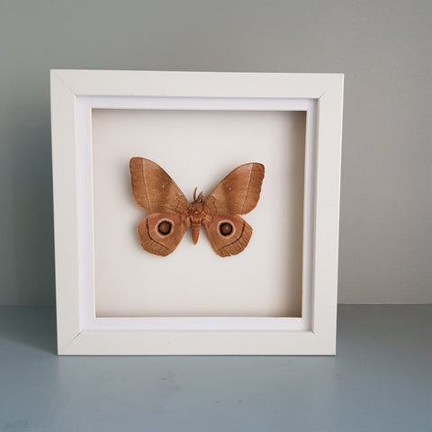 gemmas-curiosity-shop - Antheraea polyphemus - Gemma's Curiosity Shop - Butterfly