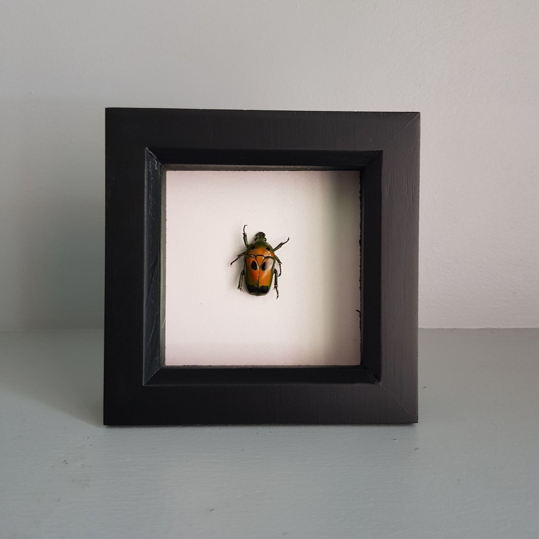 gemmas-curiosity-shop - Ischiopsopha - Gemma's Curiosity Shop - Beetle