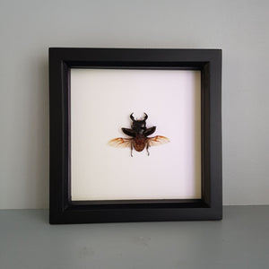 gemmas-curiosity-shop - Stag beetle - Gemma's Curiosity Shop - Beetle