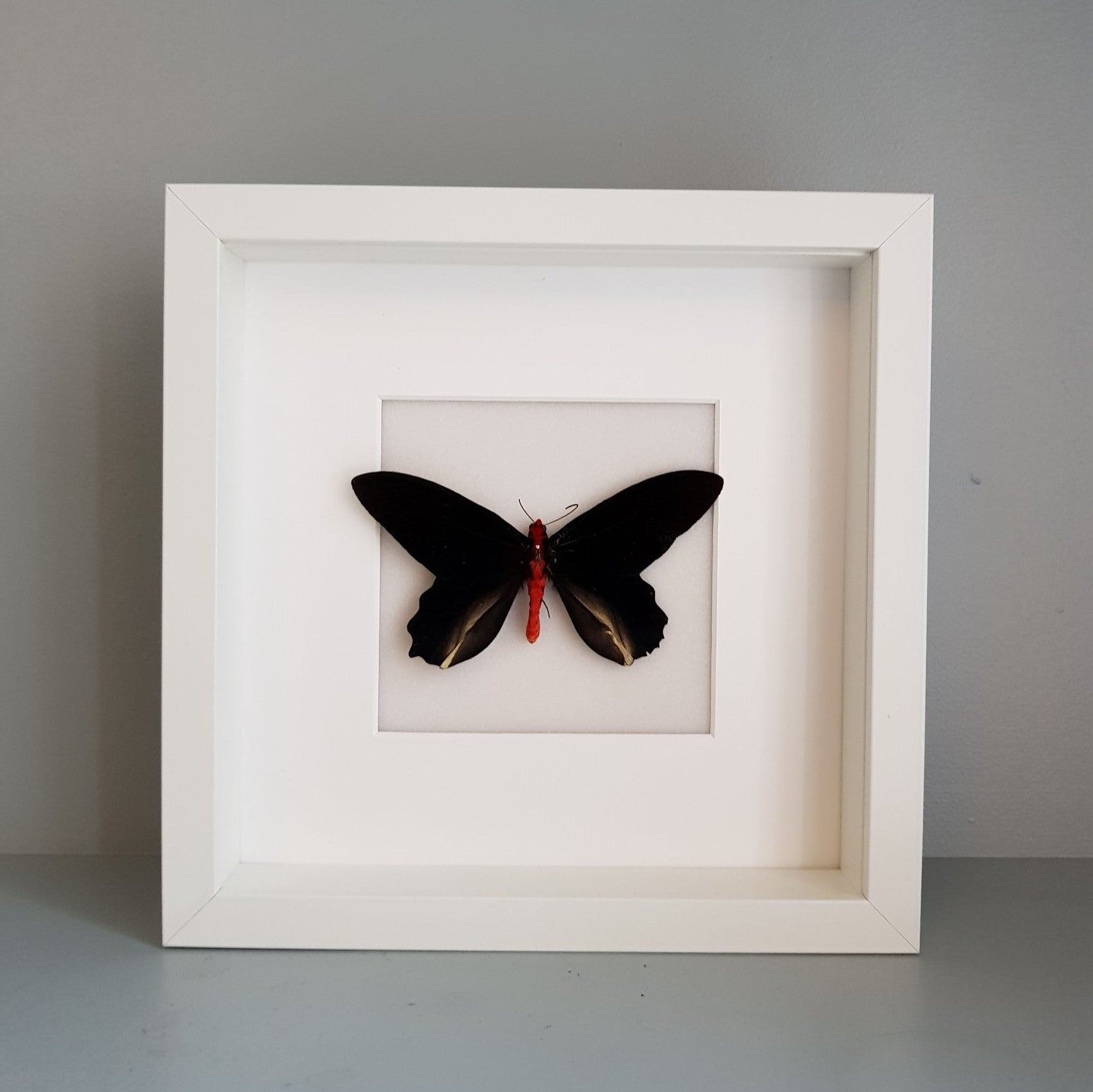 gemmas-curiosity-shop - Red-bodied swallowtail - Gemma's Curiosity Shop - Butterfly
