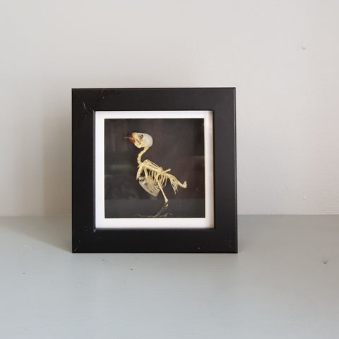 gemmas-curiosity-shop - Small bird skeleton - Gemma's Curiosity Shop - Oddity