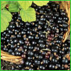 Load image into Gallery viewer, Black Currant