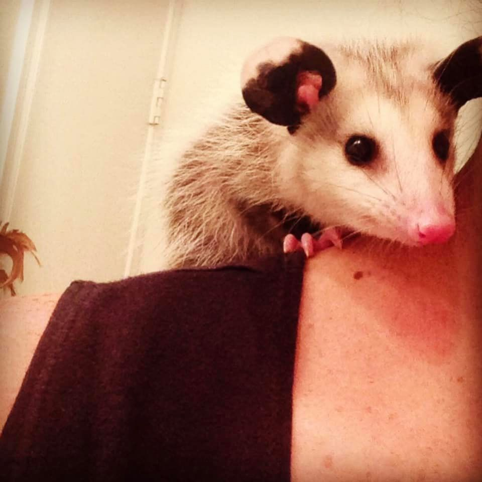 Nature's Superhero the Opossum