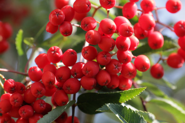 Mountain Ash (Rowan) Berry by Stephen Shellard
