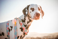 Pina the Dalmatian modeling her Love Violet Harness