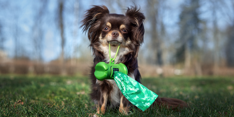 Tabitha Eve Sustainable Pet Owner Chihuahua Dog with poo bag