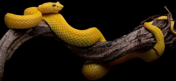rêve de serpent jaune signification