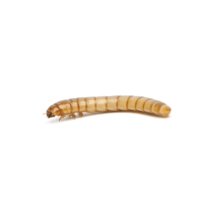 Mealworms Standard