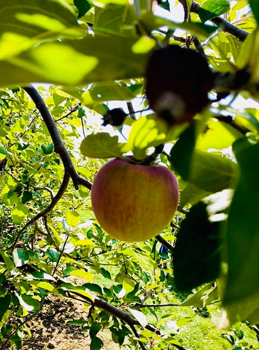 Apple Orchards & Cider Mills to Visit Near Ottawa