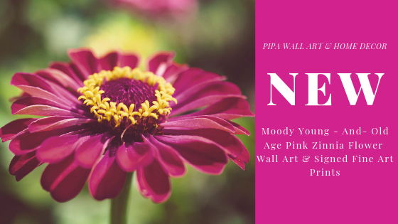 New – Floral Nature Photography – Moody Young – And- Old Age Pink Zinnia