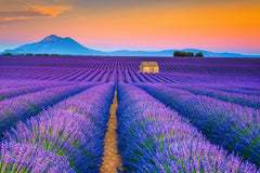 Blooming Lavender Field and Sunset Floral Landscape Wall Art & Canvas Prints