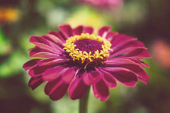 Moody Young-And-Old Age Pink Zinnia Flower Bloom Wall Art Prints & Fine Art Canvas Prints