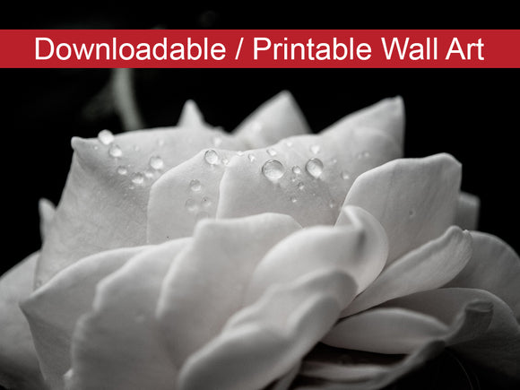 Digital Wall Art, Downloadable Prints, Nature Photography - Delicate Rose with Water Droplets - Black and White - Wall Decor - Printable
