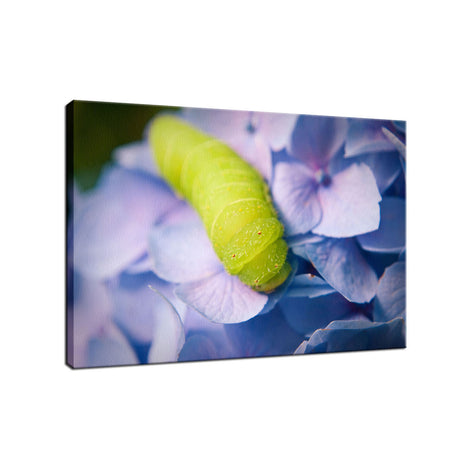 Actias Luna Larva on Hydrangea Nature / Floral Photo Fine Art Canvas Wall Art Prints