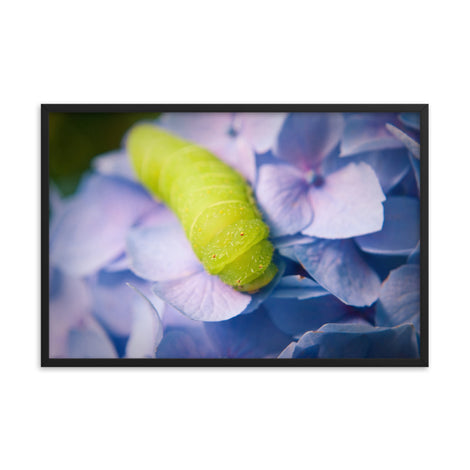 Actias Luna Larva on Hydrangea Floral Nature Photo Framed Wall Art Print