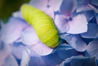 Actias Luna Larvae on Hydrangea Nature / Floral Photo Fine Art Canvas Wall Art Prints  - PIPAFINEART
