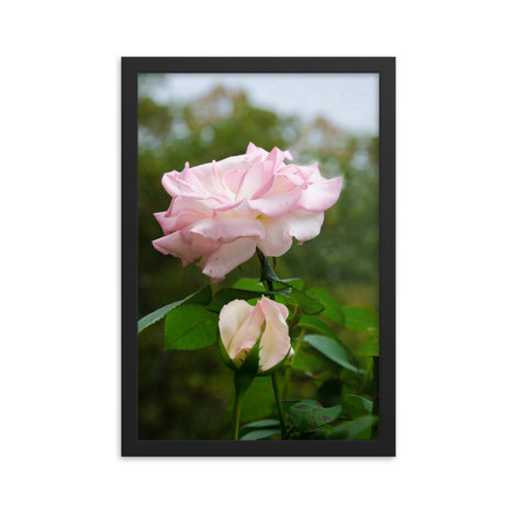 Admiration - Pink Rose Floral Nature Photo Framed Wall Art Print
